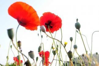 hpr-foto-mg: Mohnblumen-in-voller-Blüte